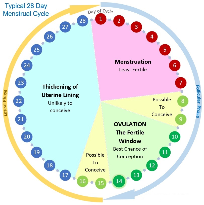 Menstrual Cycle Ovulation Calendar and Phases